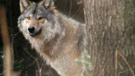 Wolf hunting season to return to Wisconsin in November 2021