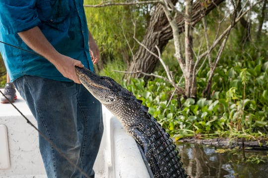 TERREBONNE PARISH, LA - AUGUST 28: Alligator hunter Chris Gomez holds a dead alligator after pulling it into the boat while hunting in bayou waters in Terrebonne Parish near Houma, Louisiana on August 28, 2019. Wednesday is the first day of Louisiana's alligator hunting season, which runs for only 30 days. (Photo by Drew Angerer/Getty Images)