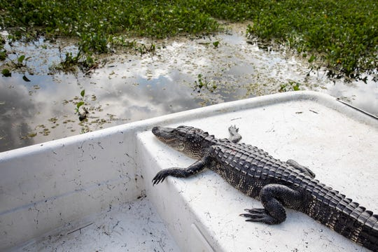 TERREBONNE PARISH, LA - AUGUST 28: A dead alligator sits in the boat after being hunted in bayou waters in Terrebonne Parish near Houma, Louisiana on August 28, 2019.