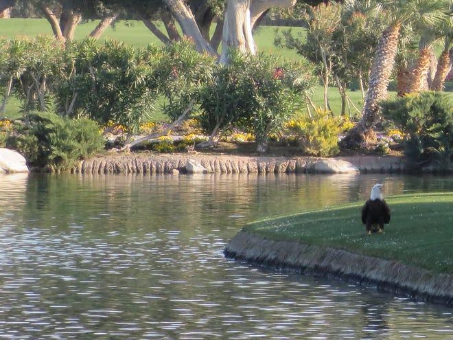 Bald eagle captured at Sunnylands in Rancho Mirage