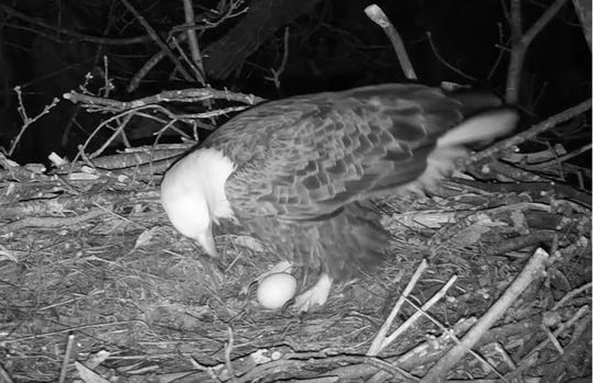 The Hanover Eagle Cam captured Liberty, the bald eagle, laying her first egg of the 2020 season on Feb. 13 at 6:02 p.m.
