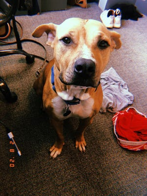 Bambi's adoption fee would be $45, which includes her spay surgery, vaccines, microchip + registration, and a 6-months-supply of heartworm prevention.
