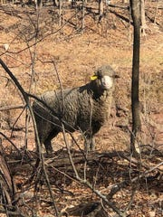 This sheep was spotted on the loose in Chestnut Ridge on Friday, Feb. 14, 2020.