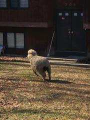 A sheep is seen running around the Chestnut Ridge area on Friday, Feb. 14, 2020.