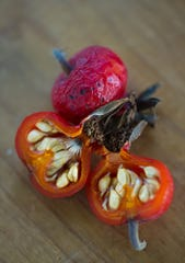 A fruit – in this case a rose hip – develops along with the seeds it contains and protects.
