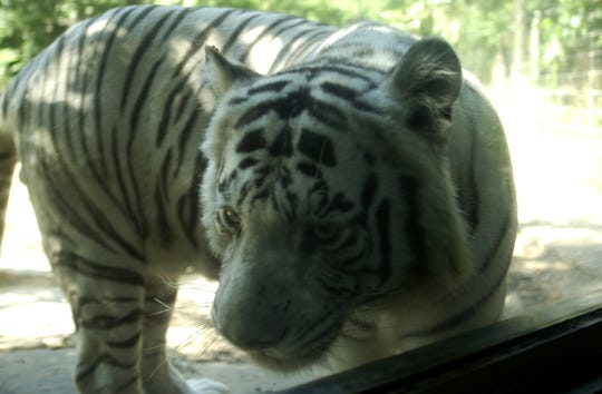 Kumar, the Alexandria Zoological Park's 19-year-old white tiger, died on Friday.