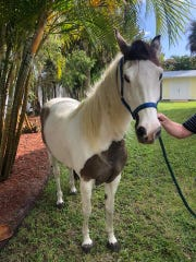 A horse escaped from its owner Friday, February 14, 2020 and took a stroll down Kanner Highway in Martin County, according to the Martin County Sheriff's Office.