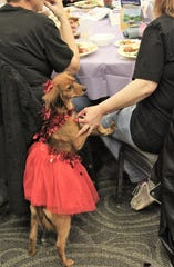 Rebel shows off her Valentine's tutu, or perhaps is interested in what's for dinner. It was Rebel's fourth event, having first attended when she was 10 weeks.