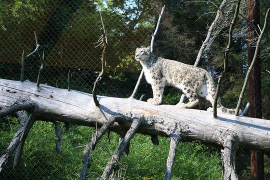 Raj, the Binder Park Zoo's snow leopard.
