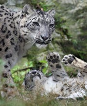Kira, a snow leopard at the Stone Zoo, plays with one of her three-month-old cubs, Tuesday, Aug. 21, 2018, in Stoneham, Mass.