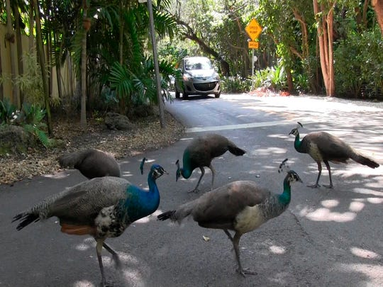 A pack of peacocks mill about at an intersection in the Coconut Grove neighborhood of Miami on April 27, 2017.