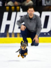 Letty, the winning dachshund, speeds across the ice in the qualifying heat of the 13th annual Weiner Dog Race on Saturday, Feb. 15, at the Denny Sanford Premier Center in Sioux Falls.