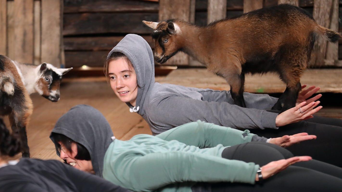 Bah-maste: Poulsbo farm brings goat yoga trend to Kitsap