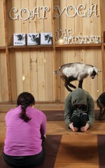 A goat stands atop instructor Amanda Turk as she leads the Kitsap Goat Yoga at The Smithshyre in Poulsbo on Sunday.