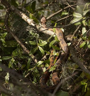 The annual gathering of mating brown water snakes along a particular area of the shoreline on northeast Lake Hollingsworth has created a buzz nationally.
