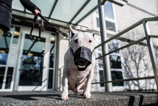 A bull terrier named Jagger Bonsai von Amadis stands with his owner in front of the Higher Administrative Court in Muenster, Germany, Monday, Feb. 17, 2020.