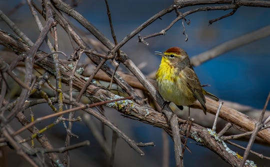 The Bird City Algoma Committee is seeking photographs of birds taken in Kewaunee and Door counties, such as this shot by John C. Walch of a palm warbler along the banks of the Kewaunee River last May, for use in a slide show during its April 18 celebration of International Migratory Bird Day.