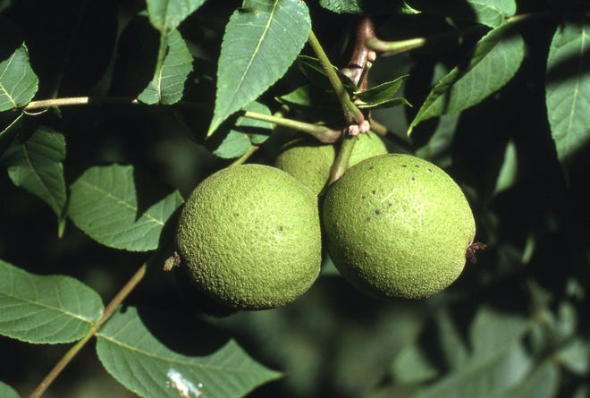 In early fall, a mature black walnut tree produces a crop of nuts on the tree. Inside the green husk is a walnut, which falls off the tree.