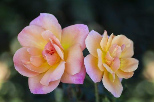 Bright and shiny rose