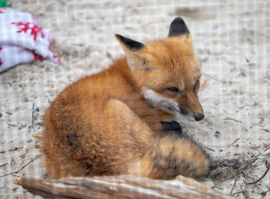 Loxy the red fox at the Emerald Coast Wildlife Refuge in Navarre on Monday, Feb. 17, 2020.
