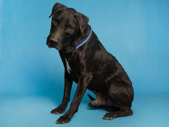Buddy will be available on Sunday, Feb. 23 at noon at the Arizona Humane Society's Campus for Compassion, 1521 W. Dobbins Road in Phoenix. For more information, call 602-997-7585 and ask for animal number 626316.
