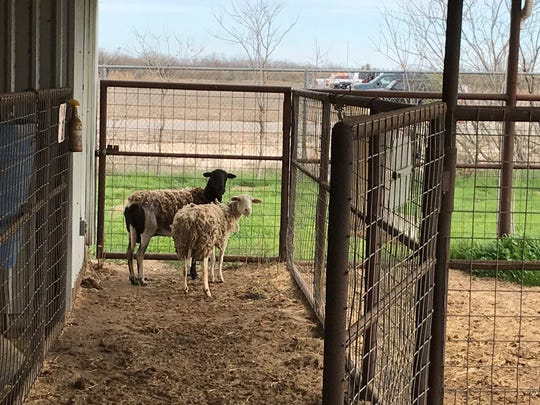Two missing sheep have been brought to the San Angelo Animal Shelter on Feb. 17, 2020.