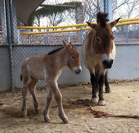 A Przewalski filly is the second Mongolian horse to be born at El Paso Zoo as part of conservation efforts.