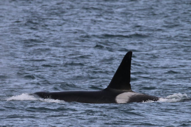 Jack, also known as T137A, was spotted in good health with his transient orca family after sustaining an injury to the tail in August.