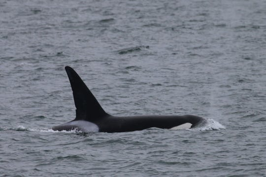 This transient orca was seen in good health, eating a sea lion after researchers were worried when the whale was injured in 2019.