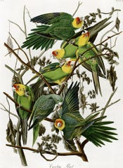 "Carolina parakeet illustration by John James Audubon from ""Birds of America"""