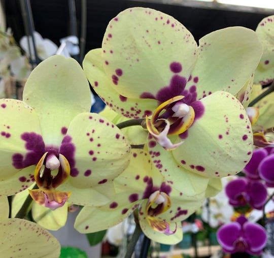Orchids with stripes or dots on their petals are often Taiwanese plants.