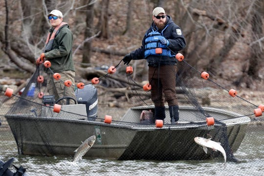 Workers from natural resource agencies use nets to drive Asian carp to a fish pump that removes them from Kentucky Lake  on Monday.