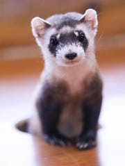 Cute in appearance, Black-footed ferrets are a solitary, nocturnal animal that populated the Great Plains from Canada to Mexico. The ferrets primary diet is prairie dogs. The ferrets are classified as an endangered species. In 1987, there were only 18 surviving due to outbreaks of canine distemper virus and sylvatic plague. The 18 were captured and placed in a managed breeding program. Feb.17, 2020