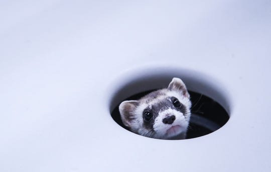 A shy Moonchild, a Black-footed ferret, peeks out of its hole inside its cage at the Louisville Zoo. Feb.17, 2020