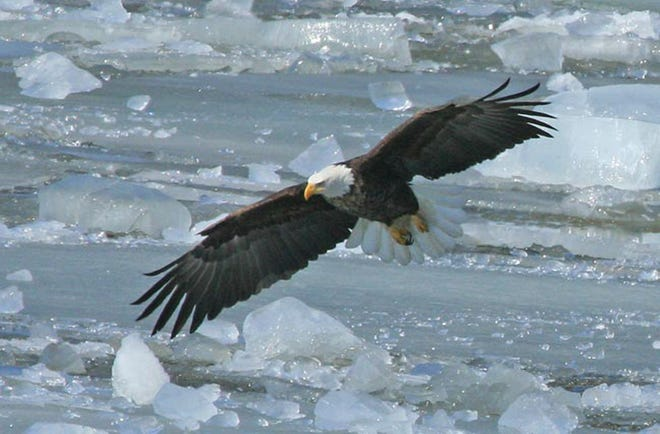 A bald eagle flies over the Mississippi River in western Wisconsin.