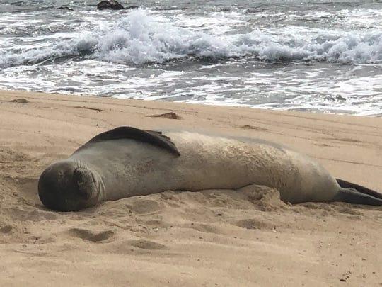 A Hawaiian Monk Seal takes a nap on Mokulua Island Jan. 31, 2020