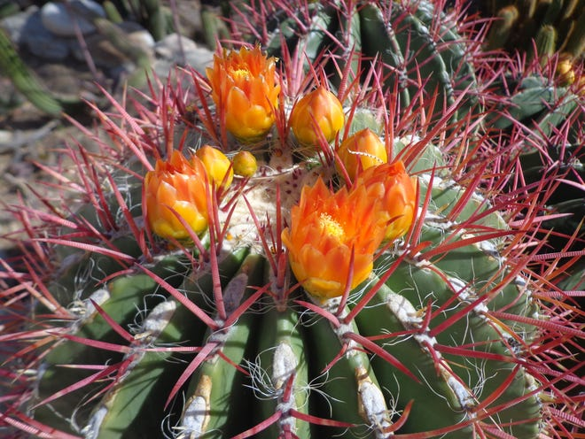Mexican flame cactus, Ferocactus pringlei, is the only clumping barrel with true orange blossoms.