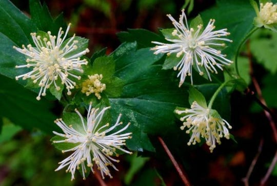 Shasta snow-wreath has unusual flowers. The white tufts are made mostly of stamens rather than petals. The flowers are on the plant for a only week or so.