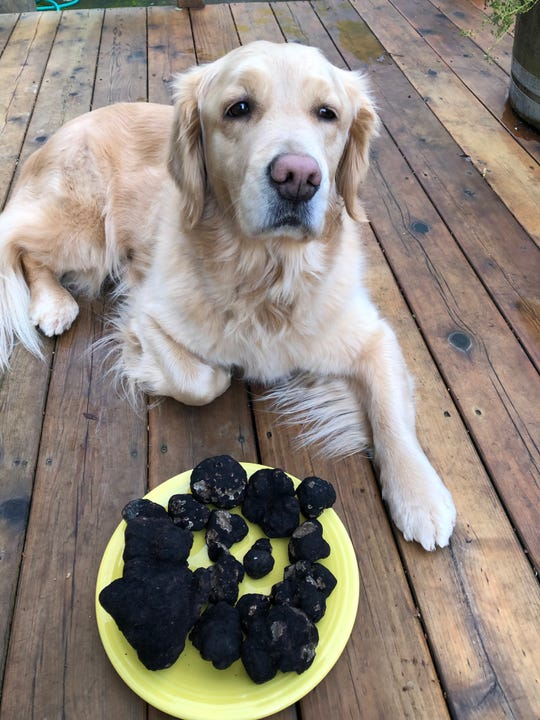 Trophy truffle-hunting golden retriever, Maddie, with the spoils of a successful outing with owner Caroline Lindstedt