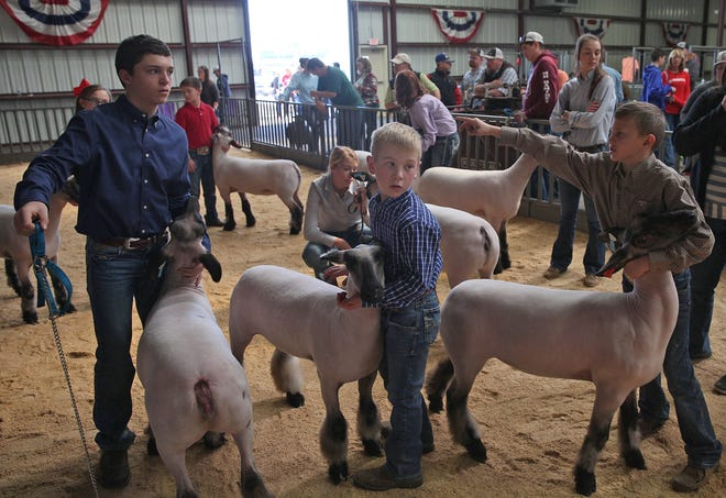 Contestants wait to have their livestock judged during the junior market lamb and goat show at the San Angelo Stock Show and Rodeo on Sunday, Feb. 2, 2020.