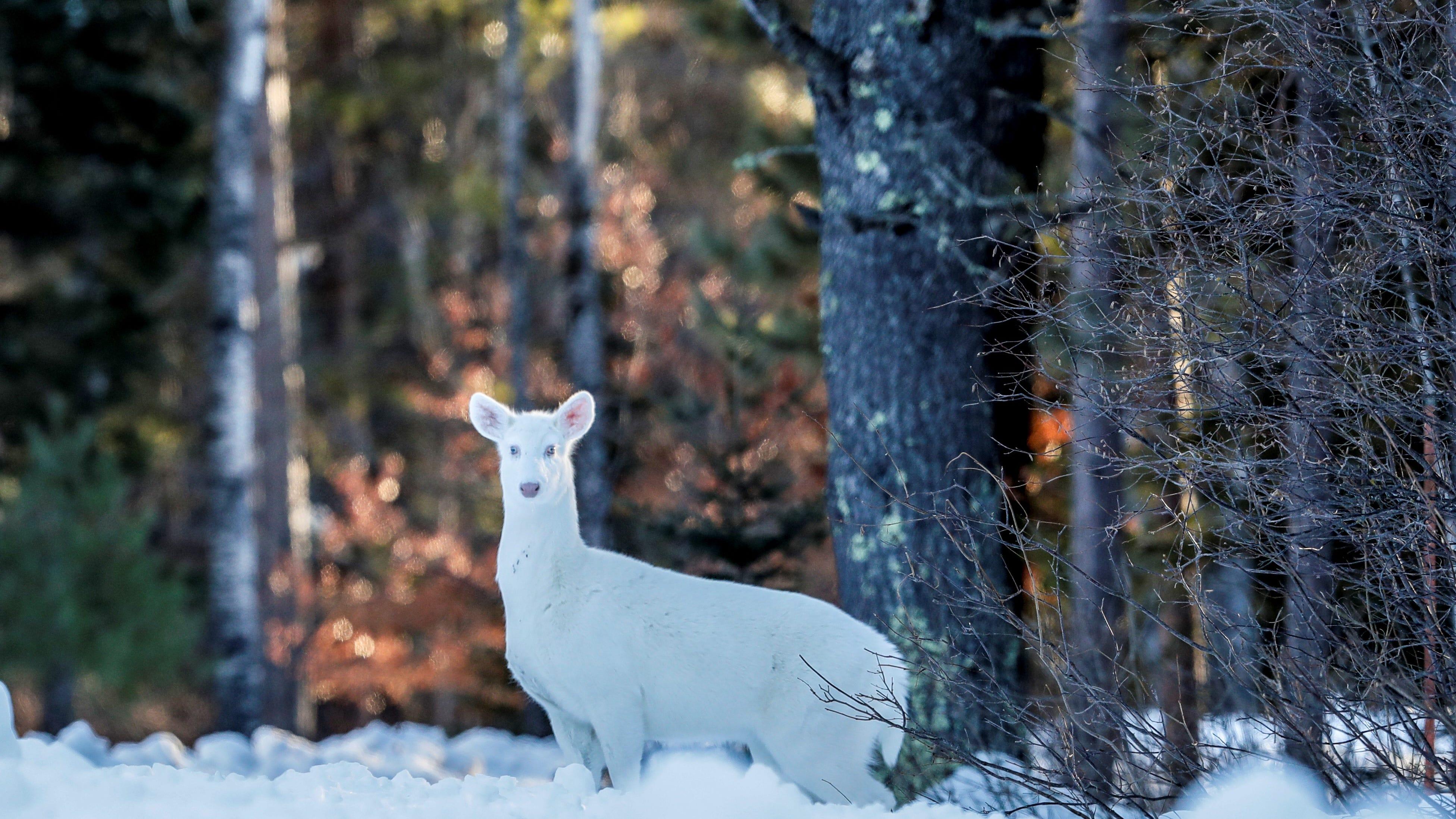 White deer in Wisconsin: Boulder Junction claims it has most albino deer