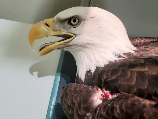 One of two eagles cared for at the Raptor Education Group in Antigo after being shot. Both eagles have now died, said Marge Gibson, the group's founder.
