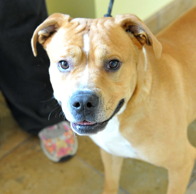 Say hello to Bravo! He is a 1 and a half-year-old boxer/mix that is hoping for a home. He is friendly, good with other dogs and people and loves to play. You can find Bravo with his doggy friends at the Wichita Falls Animal Service Center located on Hatton Rd.