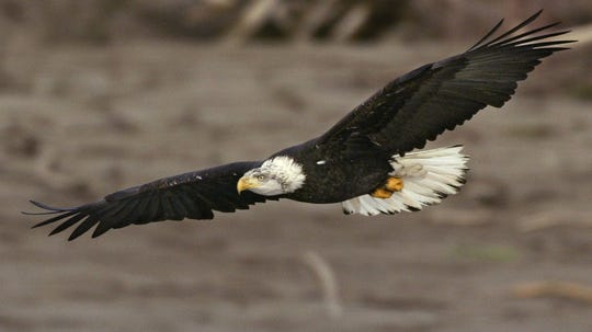 Scaring America's mascot?: Washington county proposes shooting fireworks near bald eagles