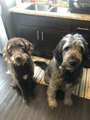 Finn and Luna, a chocolate labradoodle and a poodle-Saint Bernard mix respectively, have inspired their owners to open a dog-friendly bar and yoga studio with doggie daycare.