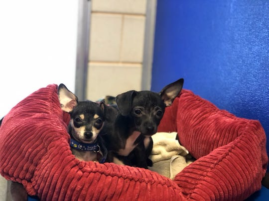 Dogs rescued from Scotch Plains that are now being cared for at St. Hubert's Animal Welfare Center in Madison