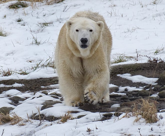 The 19-year-old female polar bear, Anana, came to Detroit on a breeding recommendation from the Association of Zoos and Aquariums (AZA) Species Survival Program (SSP).