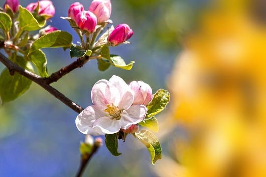 Cutting a small spring from an apple tree can be turned into a fragrant blossom.