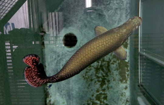 An arapaima swims in its tank before being integrated with other fish at the Milwaukee County Zoo.