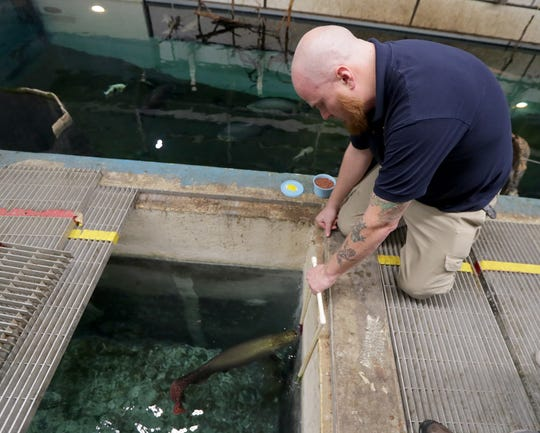 Shawn Miller, the Milwaukee County Zoo's aquatic and reptile curator, works with an arapaima on target training. Miller held two targets for the fish to touch with their heads so they get used to coming on command to be examined by veterinarians.
